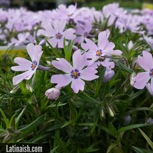 little-purple-flowers-latinaish